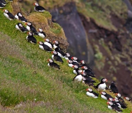 Lunnefåglar på Island