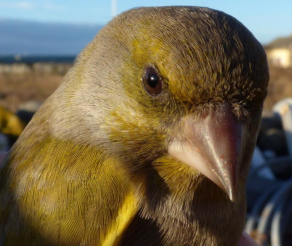 1 grönfink closeup