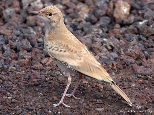 Härfågellärka. En fågel man stöter på i halvöken. När den flyger liknar vingarna en härfågel - därav namnet.
