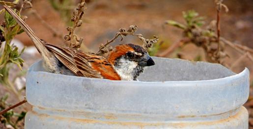 En endemisk art på Kap Verde, Kap Verde sparven. Hanen tar sig här ett bad i en avklippt petplaska.