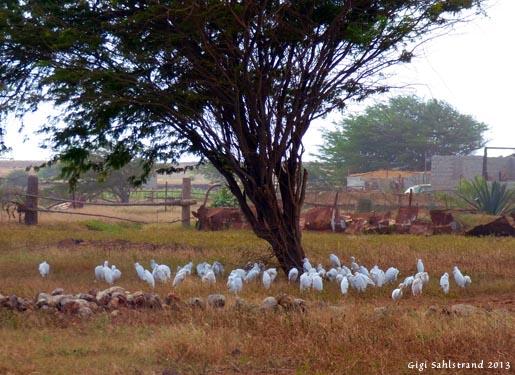 Vi åkte förbi en gård med kor, vad fanns där? Såklart kohägrar :-).