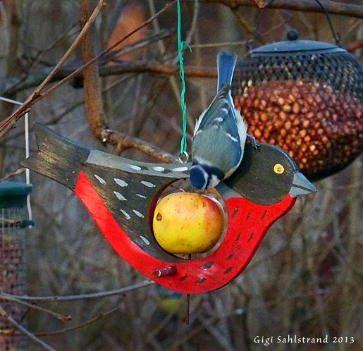 Blåmesen försöker norpa åt sig en äppelbit. De är en av de få småfåglarna som gillar äpple.