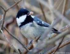 Svartmesen är en orädd fågel. Äter gärna bredvid när man fyller på frön eller jordnötter.