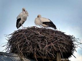Ett storkpar som har stannat kvar vid sitt bo på Viby gård där det drivs både gårdshandel och ett storkprojekt. Normalt flyttar vita storkar söderut när vintern kommer men flera Skånestorkar stannar kvar.