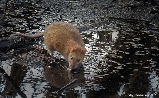 """Vid vattenrallens """"ställe"""" fanns i onsdags två råttor. Ovanligt oskygga! Tror dom att de är dem vi matar med leverpastej eller är det förklädda vattenrallar?  ;-)"""