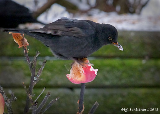 Jag brukar spetsa äpplehalvor i lilla prydnadsträdet. Både vackert och till nytta.