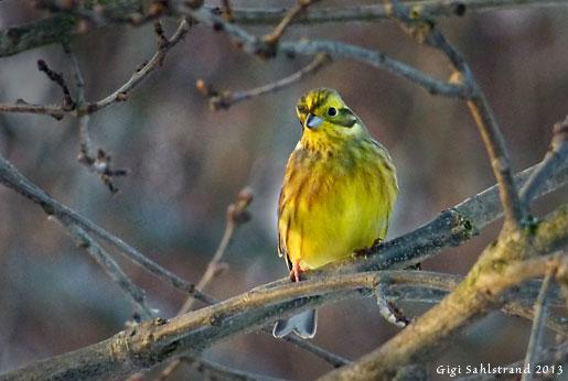 Gulsparven gillar jag, ingen den andra lik - mycket gul eller nästan inte alls. Det är hanarna som är gulast...och gulligast :-)