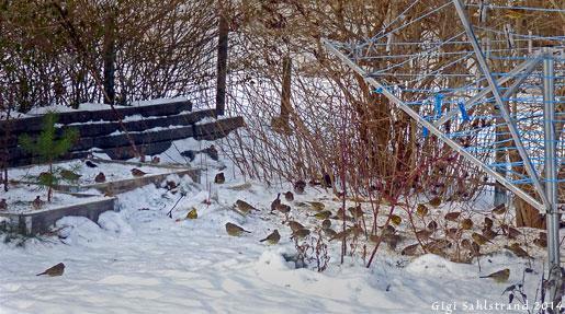 Har även en markmatning, här trivs gulsparvarna! Men pilfinkarna delar gärna plats med dem.