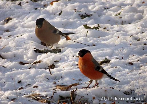 Domherrar är en populär fågel att få på matningen. De lyser upp den svartvita naturen.
