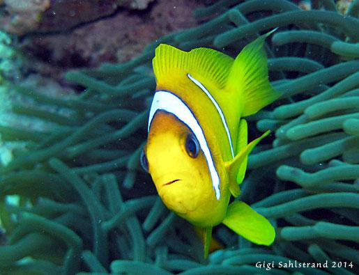Nemo! Njaä, de heter egentligen clownfish. Otroligt söta och nyfikna!