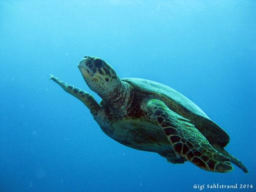 Hawksbill sea turtle. Tror den heter karettsköldpadda på svenska.