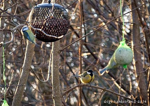 Våren är här! Våra stannfåglar har redan sjungit ett tag och fått till sången riktigt fint :-)