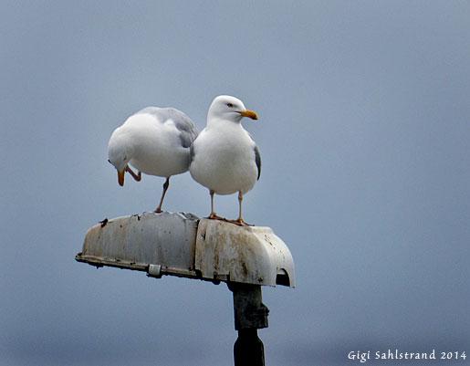 Skönt att ha någon att luta sig mot när det kliar i örat :-) . Gråtrutar i Kåseberga hamn.