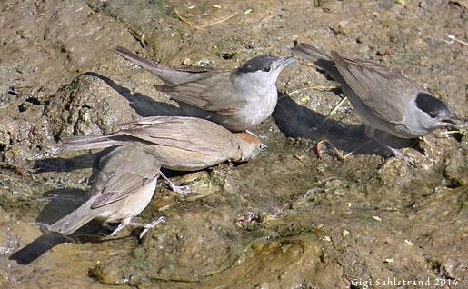 Många fåglar som övervintrar i Afrika passerar Jordanien. Här samsas svarthättor vid en liten vattenpöl.