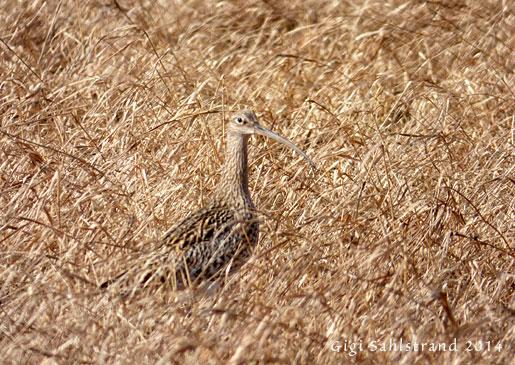 Storspoven försvinner nästan i gräsets färger.