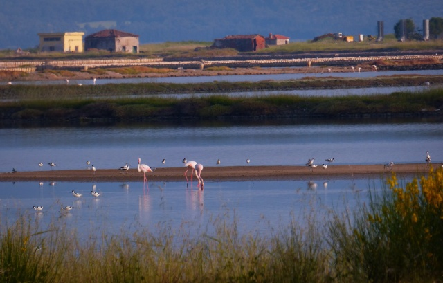 Större flamingos, skärfläckor och styltlöpare i fint kvällsljus.