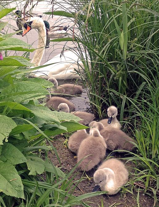 8 små svanungar i Råstasjön och redan har de lärt sig tigga av människor, dock över moderns vakande öga.
