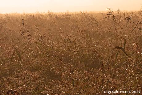Tidig morgon. Fotat från ett gömsle. Här kom man flera vasslevande fåglar nära.