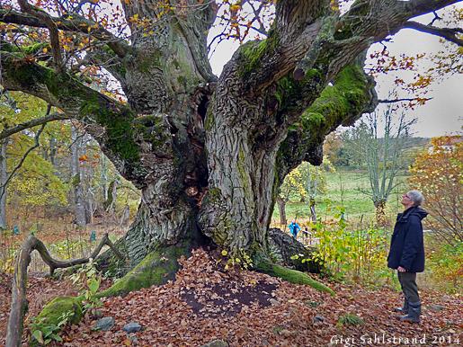 Denna magnifika ek på Biskops Arnö är 600 år gammal - respekt!