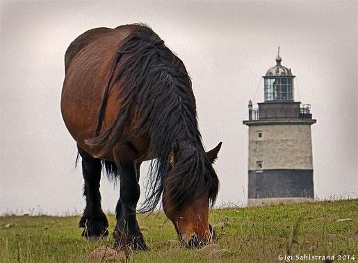 Hästarna strandängarna trimmade vid Torups Tånge.