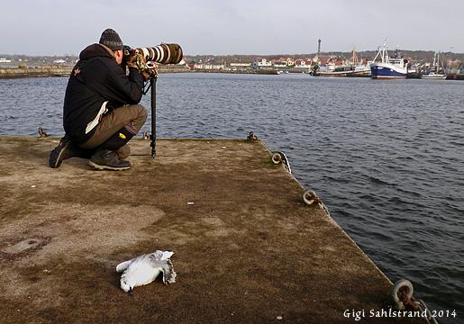 Lite makaber bild -  en nyligen död ung dvärgmås framför Göran i Träslövsläge hamn.