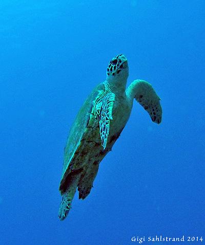 Denna sköldpadda låg en stund på min rygg, var rädd att hon skulle ta fel på mitt hår och sjögräs :-). Sen bet hon mig i fenan (simfot), fniss!