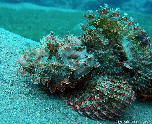 Skorpinfisk - kan stickas med farligt gift. Bäst att hålla sig undan!