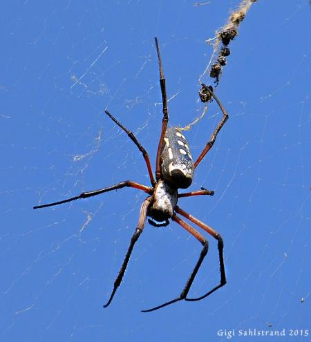 """Stor som en hand :-) Visst är den vacker?! Nephila sumptuosa (""""jättehjulspindlar/sidenspindlar"""")."""