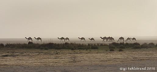 Mitt ute i världens största sandöken finns oasen Mustafar. Här flockades dromedarer, fåglar och fågelskådare ;-).