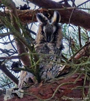 Hornuggla i lilla tallskogen nära Höganäs.