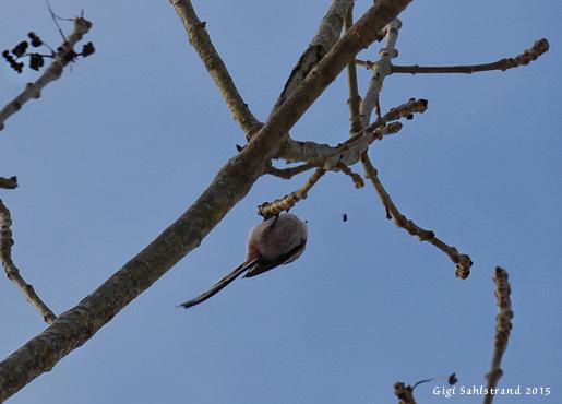 Inte svårt att se vad det är för fågel men ser du flugan? Den blev sekunden efter mat i en stjärtmes mage :-)