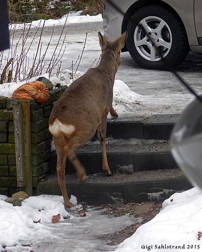 Tur att jag hade sandat trappan så inte unge herr rådjur halkade! :-)