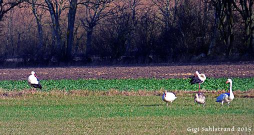 På håll såg vi vita fåglar på fältet - jaja, mer sångsvanar tänkte jag (som är det vanligaste när man ser stora vita fåglar på ett fält). Men nää, här var det knölsvanar och vita storkar! :-)