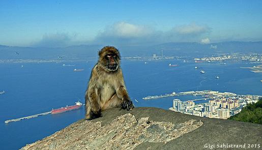 En av alla makaker som lever på Gibraltarklippan.