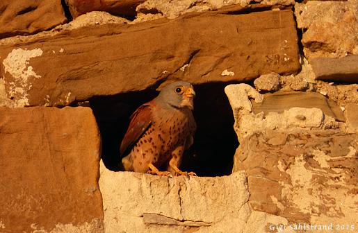 I staden Tarifa häckar 25 par rödfalkar. De gillar bo i gamla borgen.