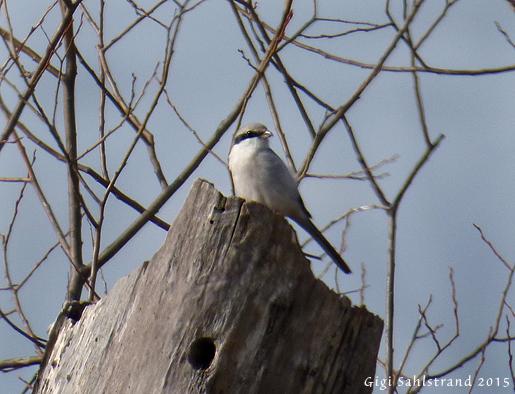 Varfågel, en fågel som övervintrar i mellersta och södra Sverige. Svartsjöviken.