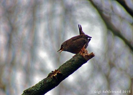 Gärdsmyg, Sveriges näst minsta fågel. Ser ut som en köttbulle med en flaggstång i aktern :-)
