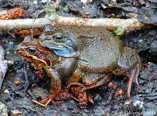 Åkergroda eller vanlig groda (dålig på grodor :-(  ).