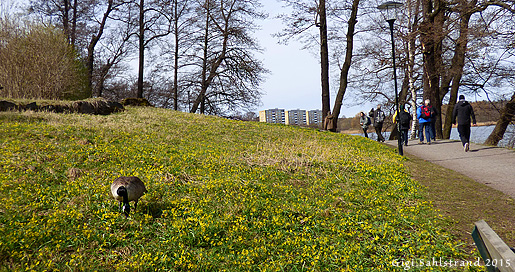 Kanadagåsen gick fridfullt och betade bland vårlöken när vi gick förbi på fågelvandringen runt Råstasjön, Solna.