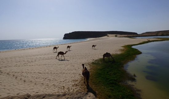 Dromedarer på strandremsan som skiljer salt och sötvatten åt. 2. Khawr Rawri