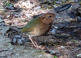 Rostjuveltrast (Rusty+naped Pitta)