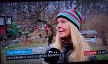 En kort inslag på alla SVTs Rapportsändningar under helgen ang Vinterfåglar inpå Knuten, jan-17